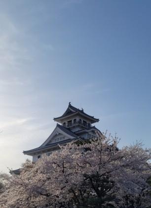 長浜城 城 桜